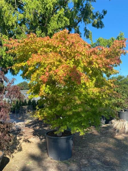Acer palmatum 'Kogane Nishiki' / Japanischer Fächerahorn 'Kogane Nishiki' 200-250cm breit x 300-350cm hoch (Nr.176)