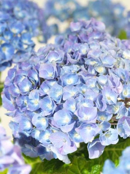 Hydrangea macrophylla 'Superbowl' (blau) / Bauern-Hortensie 'Superbowl' (blau)