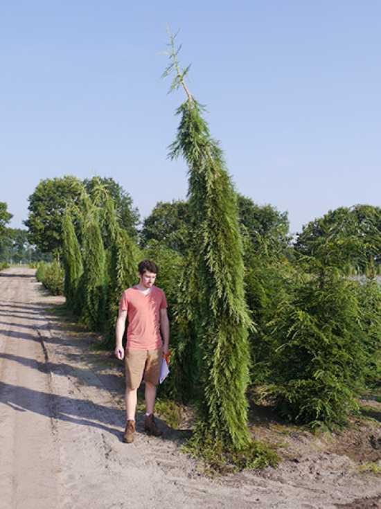 sequoiadendron giganteum pendulum ueberhaengender