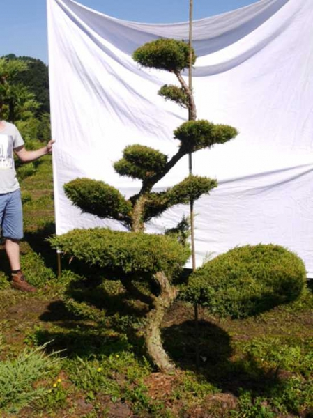 Juniperus media 'Hetzii' H: 200 cm B: 150 cm / Garten-Bonsai (301562)