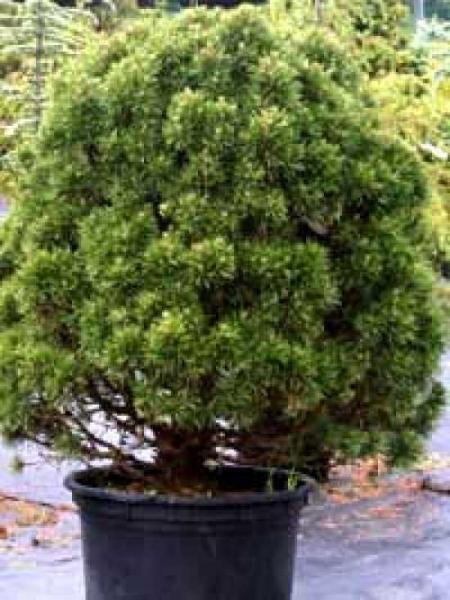 Pinus nigra 'Globosa' / Zwerg-Schwarzkiefer 'Globosa'