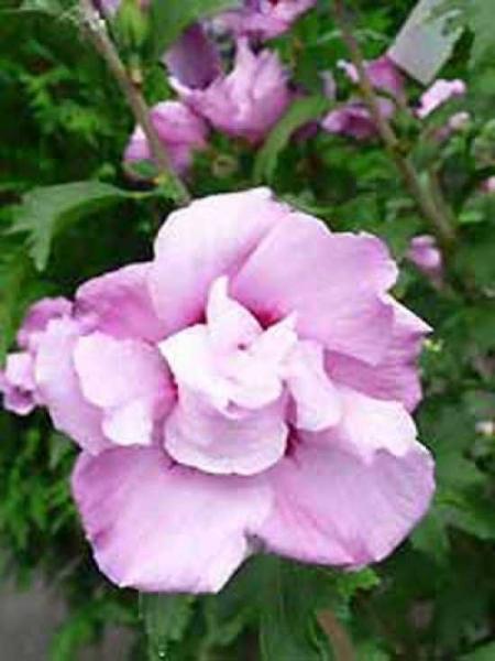 Hibiscus syriacus 'Ardens' / Garten-Eibisch 'Ardens' / Strauch-Eibisch 'Ardens'