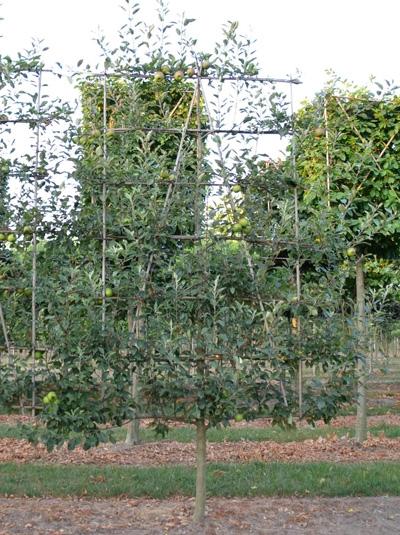 Malus domestica 'Jonagold' / Apfel Jonagold 'Boden-Spalier' H:240 B:160 T:20 (Stamm 80 cm)