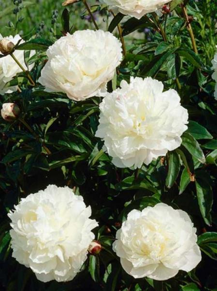 Paeonia officinalis 'Alba Plena' / Bauern-Pfingstrose
