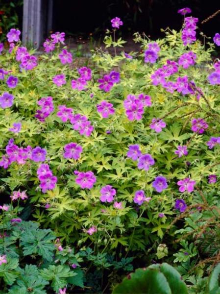 Geranium Hybride 'Blue Sunrise ®' / Storchschnabel