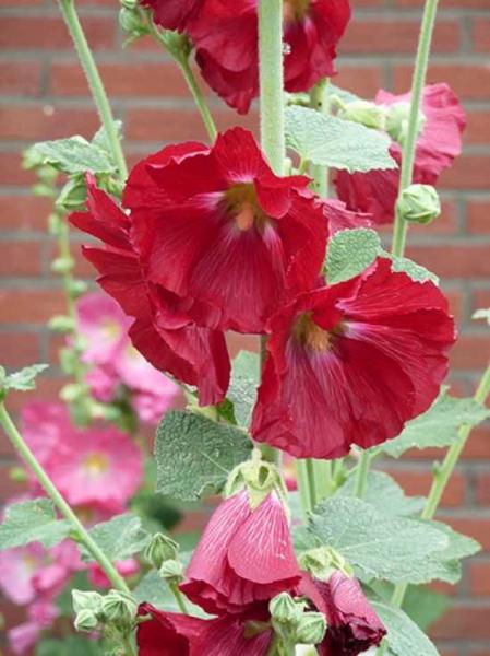 Alcea rosea 'Pleniflora' rot / Gefüllte Stockrose rot
