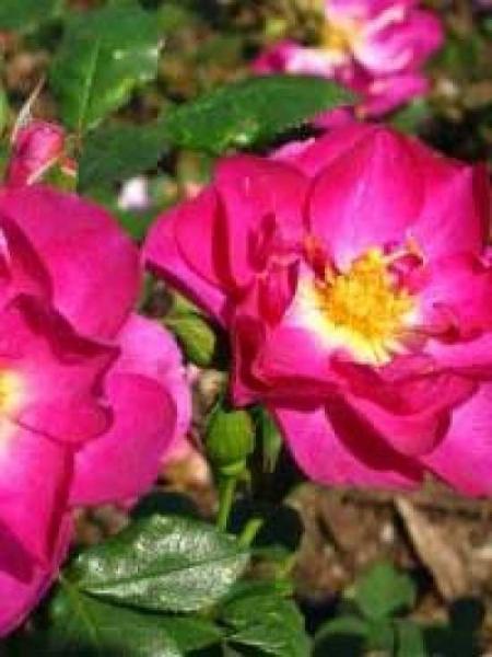 Rosa 'Heidetraum ®' / Bodendeckerrose 'Heidetraum'