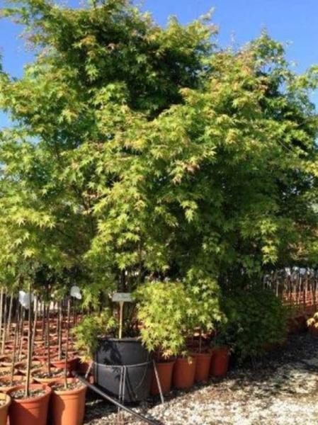 Acer palmatum 'Okukuji-nishiki' / Japanischer Fächerahorn 'Okukuji-nishiki'