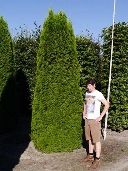Thuja occidentalis 'Smaragd' / Lebensbaum 'Smaragd' 350-400 cm Solitär mit Drahtballierung