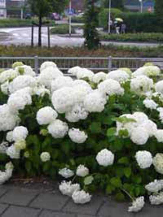 hydrangea arborescens 39 annabelle 39 schneeball hortensie 39 annabelle 39 g nstig kaufen. Black Bedroom Furniture Sets. Home Design Ideas