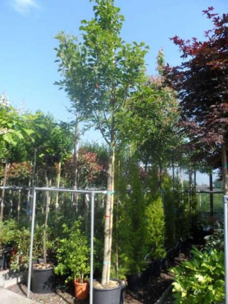 Acer capillipes / Rotstieliger Schlangenhaut-Ahorn