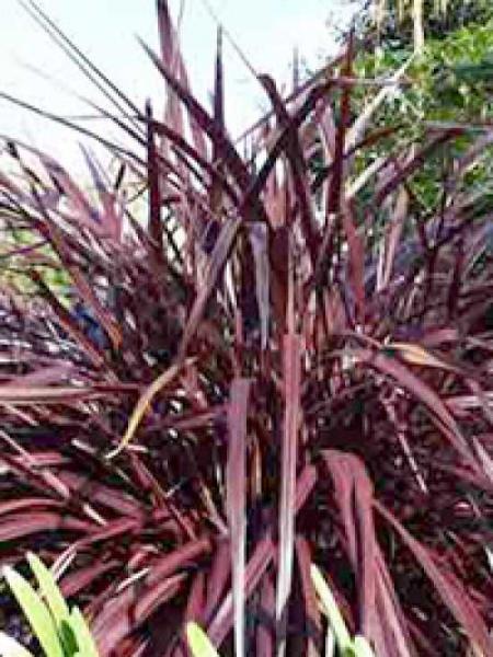 Cordyline australis 'Purple Tower' / Keulenlilie 'Purple Tower'