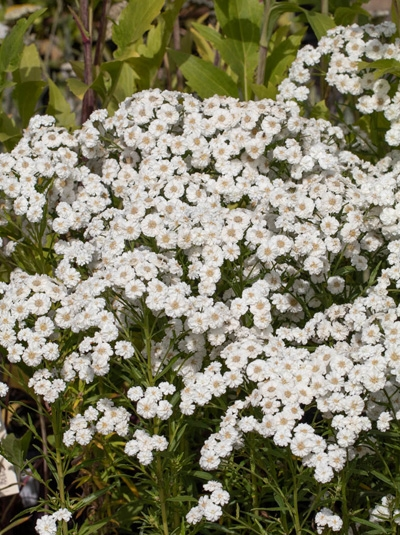 Achillea ptarmica 'Petticoat' / Bertrams-Garbe
