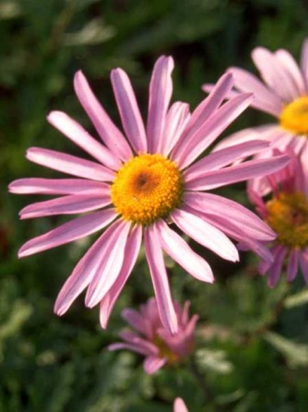 Arctanthemum arcticum 'Roseum' / Rosa Grönlandmargerite