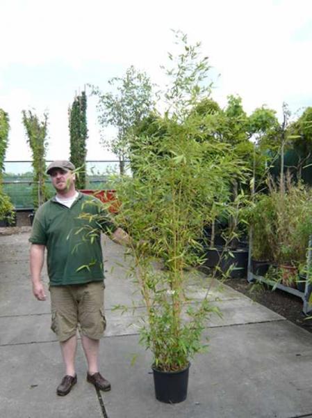 Phyllostachys Aureosulcata Aureocaulis Goldener Peking Bambus