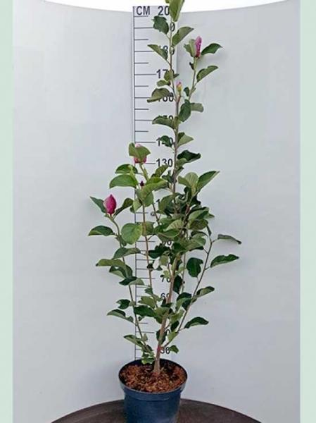 Magnolia 'March Till Frost' / Magnolie 'March Till Frost'