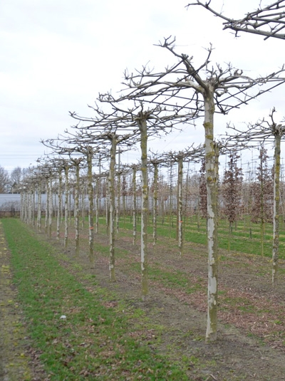 Platanus acerifolia 'Dachform/Sternform' / Platanus acerifolia 'Dachspalier' (300 cm Stamm)