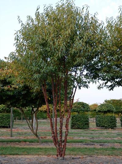 Prunus serrula 'Branklyn' / Zierkirsche 'Branklyn' Schirmform