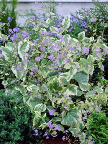 Brunnera macrophylla 'Hadspen Cream' / Gelbbuntes Kaukasusvergissmeinnicht