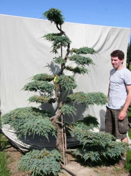 Juniperus squamata 'Blue Carpet' H: 230 cm B: 190 cm / Garten-Bonsai (306105)