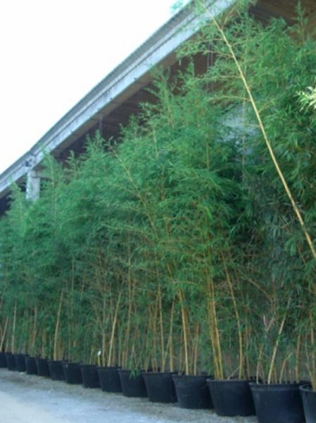 Phyllostachys vivax 'Aureocaulis' / Zauberbambus 400-450 cm im 160-Liter Container