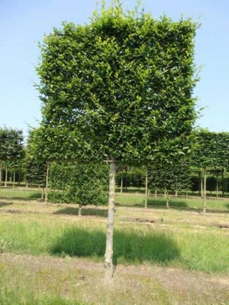 Carpinus betulus / Hainbuche / Weißbuche 'Hochstamm-Spalier' H:200 B:200 T:20 (Stamm 180 cm)