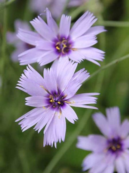 Catananche caerulea / Blaue Rasselblume