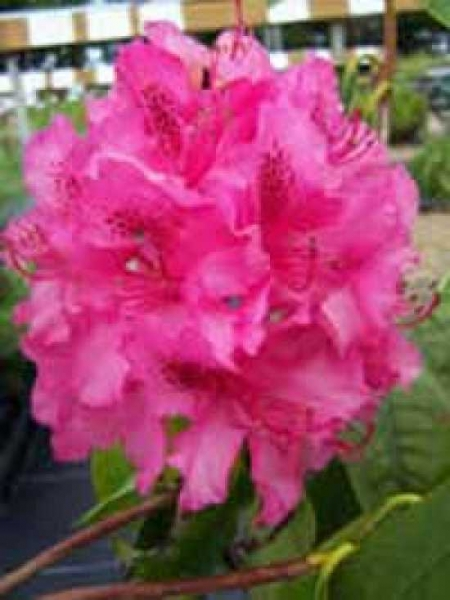 Rhododendron Hybride 'Cynthia' / Rhododendron 'Cynthia'