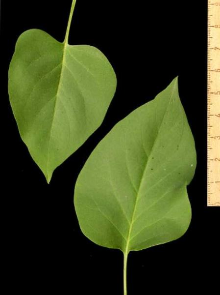 Syringa vulgaris 'Kindy Rose' / Gartenflieder / Gewöhnlicher Flieder / Edelflieder