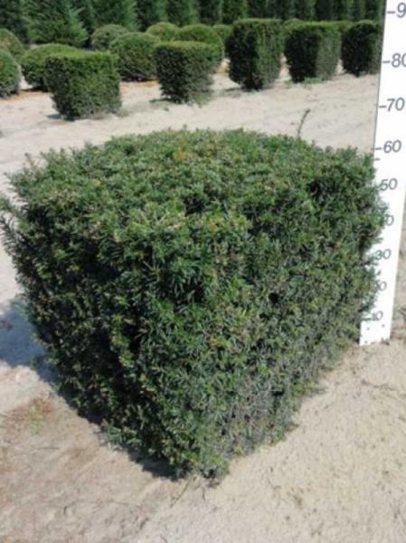 Taxus baccata 'Kubus/Quader' / heimische Eibe 'Kubus/Quader' 60 x 60 x 60 cm mit Drahtballierung