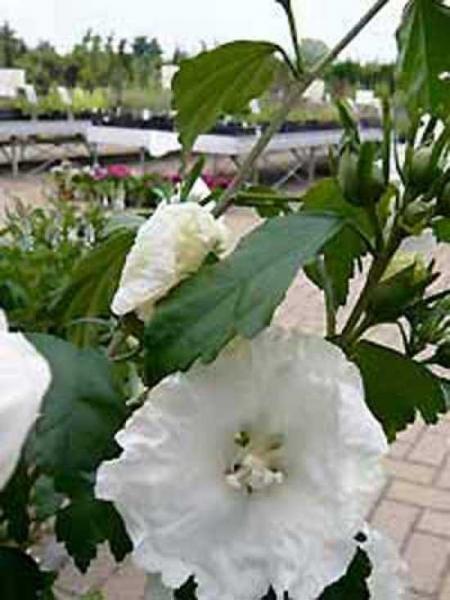Hibiscus syriacus 'William R. Smith' / Garten-Eibisch 'William R. Smith' / Strauch-Eibisch 'William R. Smith'