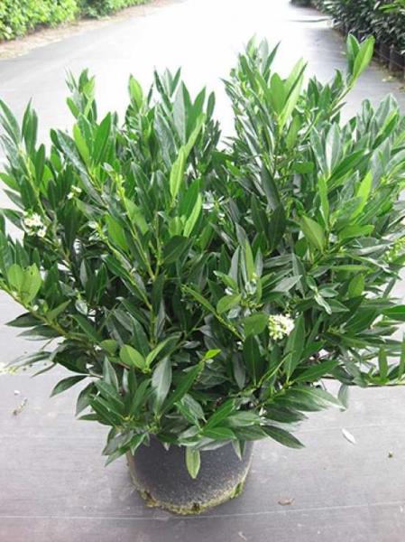 Prunus laurocerasus 'Otto Luyken' / Kirschlorbeer 'Otto Luyken' 60-80 cm im 20-Liter Container