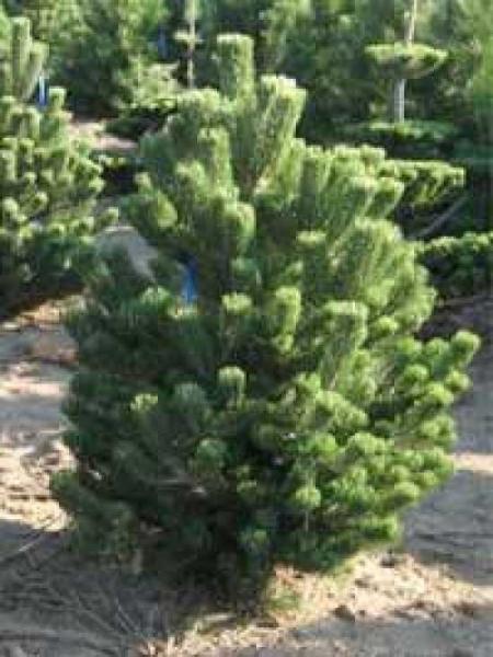 Pinus Nigra Oregon Green österreichische Schwarzkiefer Oregon