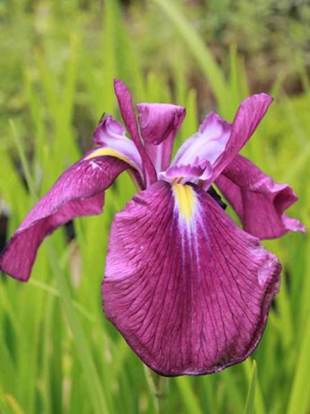 Iris ensata 'Amethyst' / Japanische Sumpf-Schwertlilie 'Amethyst'