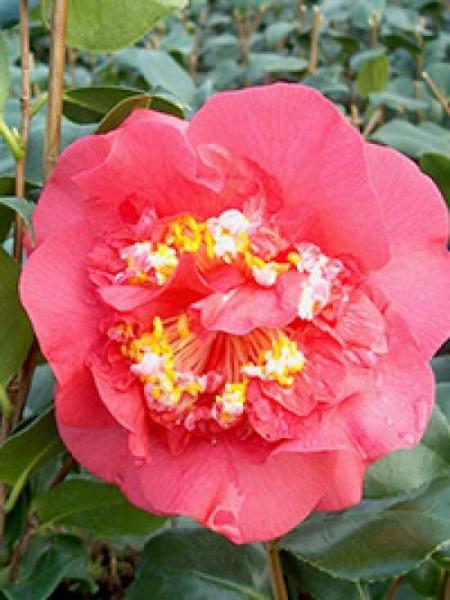 camellia japonica 39 r l wheeler 39 japanische kamelie 39 r l wheeler 39 g nstig kaufen. Black Bedroom Furniture Sets. Home Design Ideas