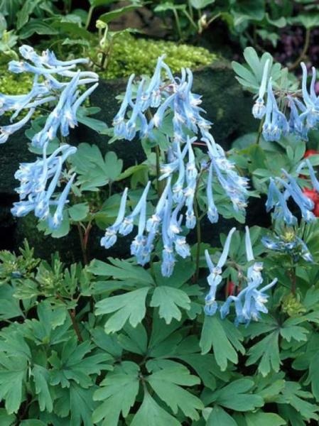 Corydalis flexuosa / Blauer Lerchensporn