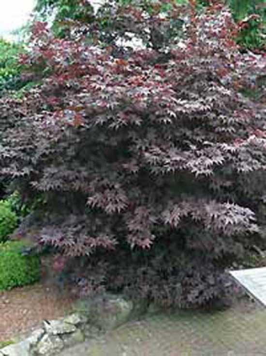 acer palmatum 39 atropurpureum 39 roter f cherahorn japanischer ahorn g nstig kaufen. Black Bedroom Furniture Sets. Home Design Ideas