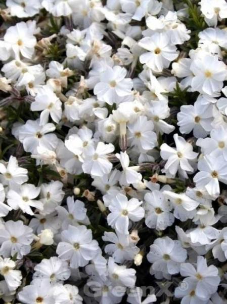 Phlox douglasii 'White Admiral' / Polster-Phlox
