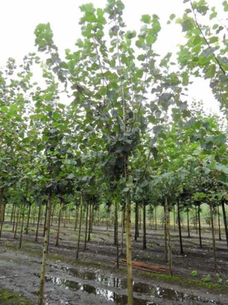 Populus canescens 'Witte van Haamstede' / Grau-Pappel 'Witte van Haamstede'
