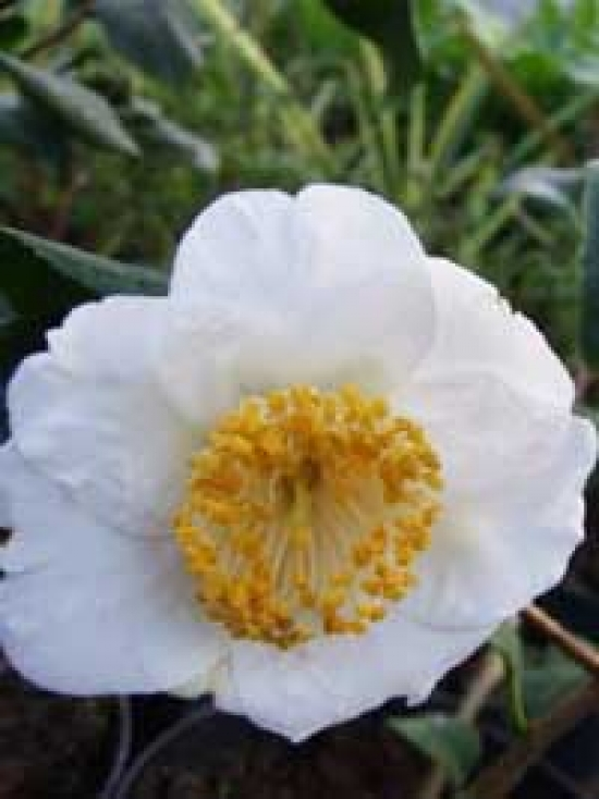 camellia japonica wei japanische kamelie wei g nstig kaufen. Black Bedroom Furniture Sets. Home Design Ideas