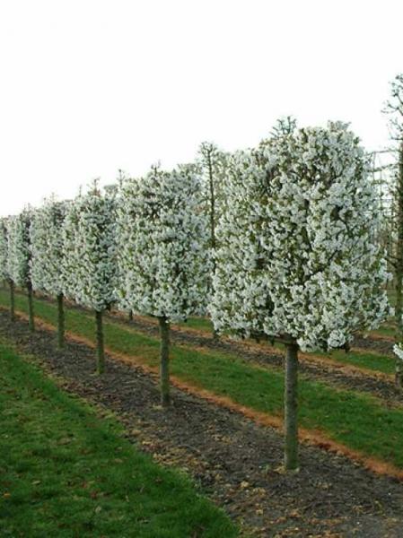 Prunus umineko / Zierkirsche 'Halbstamm-Spalier M-förmig' H:120 B:160 T:20 (Stamm 100 cm)