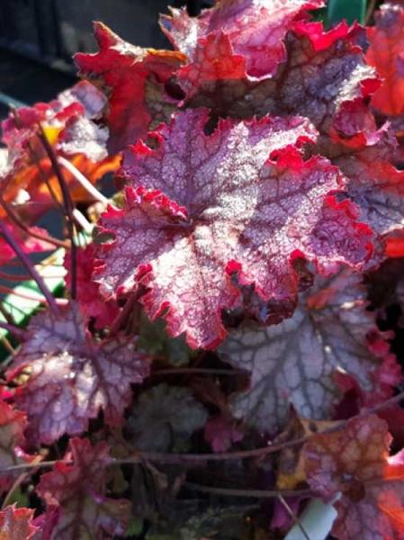 Heuchera 'Cascade Dawn' / Garten-Purpurglöckchen