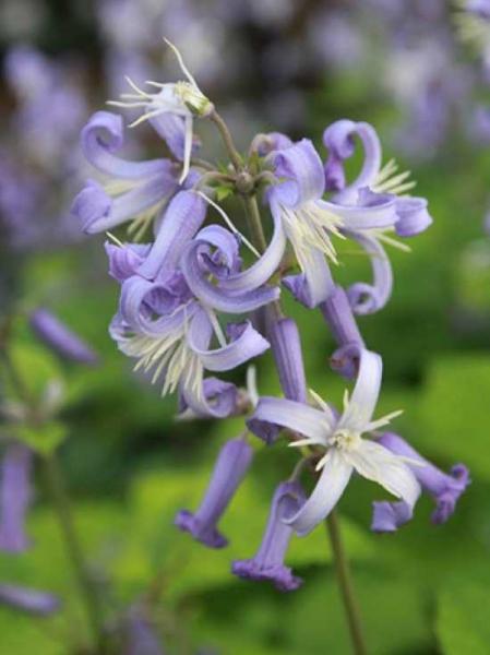 Clematis heracleifolia 'Wyewale' / Stauden-Waldrebe