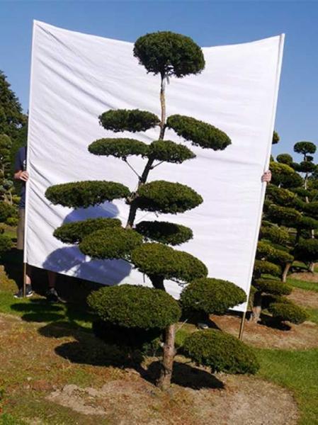 Taxus baccata H: 230 cm B: 140 cm / Garten-Bonsai (0171)