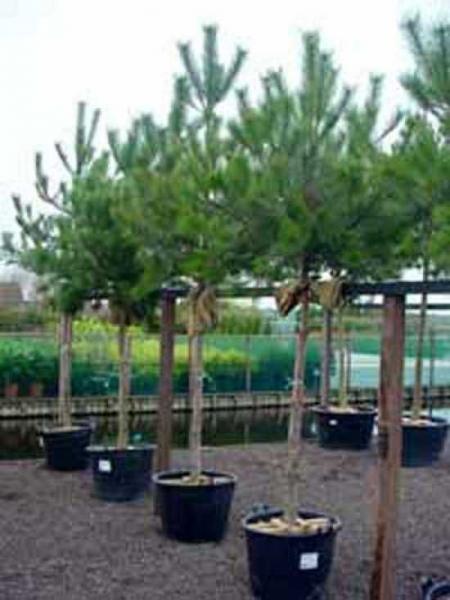 Pinus nigra ssp. nigra 'Hochstamm' / Österreichische Schwarz-Kiefer