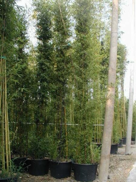 Phyllostachys nigra / schwarzer Bambus 500-600 cm im 150-Liter Container