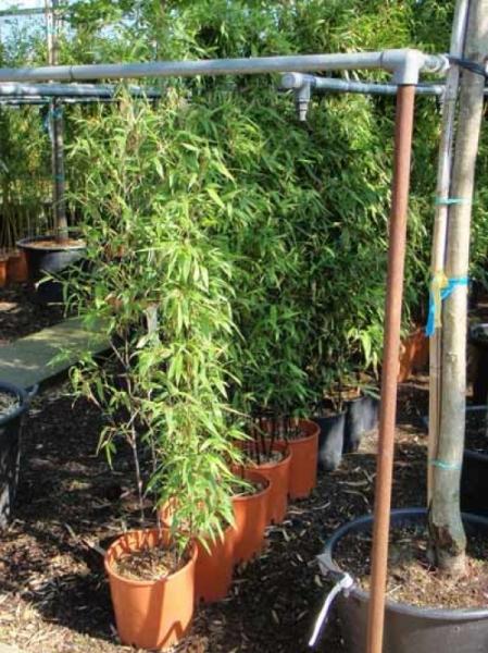 Phyllostachys nigra / schwarzer Bambus 125-150 cm im 12-Liter Container