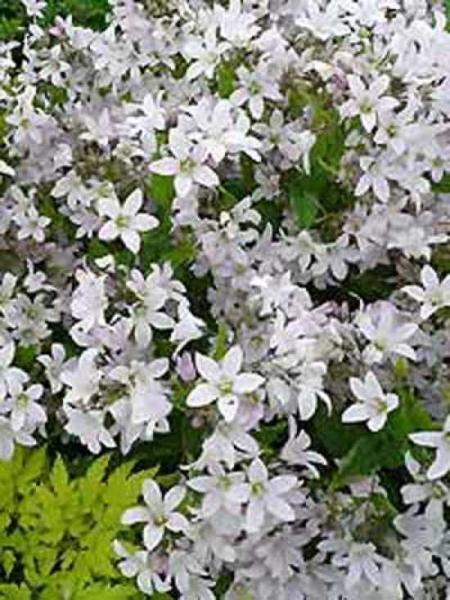 Campanula lactiflora 'Loddon Anna' / Kuppelglocke