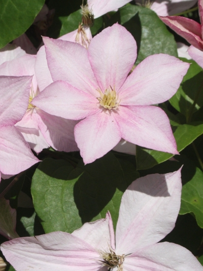 Clematis Hybride 'Caroline' / Waldrebe 'Caroline'