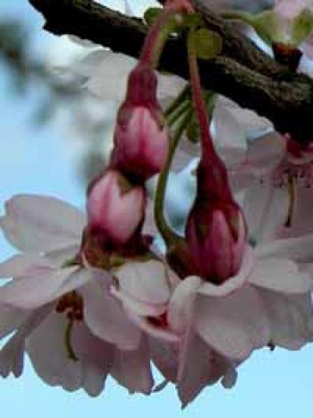 Prunus subhirtella 'Autumnalis Rosea' Stämmchen / japanische Zierkirsche / Rosa-Schneekirsche